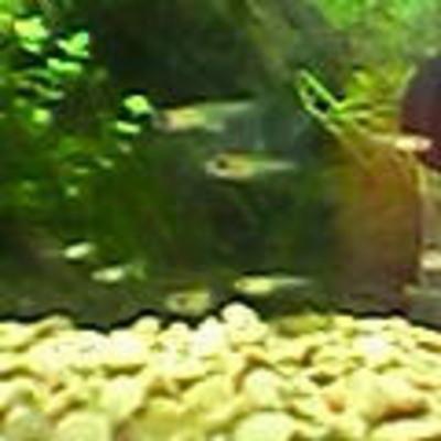 2005.02.20.グッピー稚魚